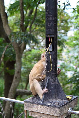 Monkey Photograph - Street Monkey - Phuket Thailand - 01135 by DC Photographer