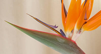Strelitzia In Bloom, California, Usa Art Print by Panoramic Images