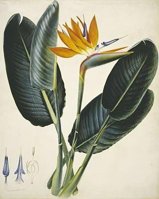 Strelitzia Sp. Flower, Artwork Art Print by Science Photo Library