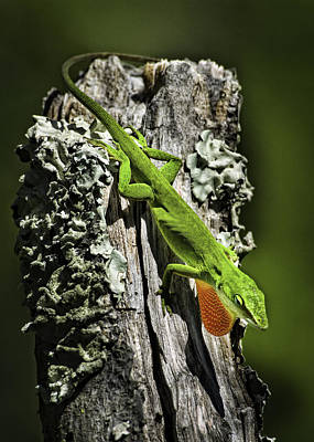 Photograph - Stressed Anole by Donald Brown