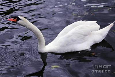 Photograph - Stretching Swan by Jeremy Hayden