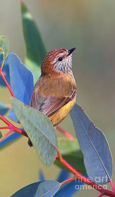 Striated Thornbill Art Print by Bill  Robinson