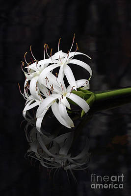 Print featuring the photograph String Lily #1 by Paul Rebmann