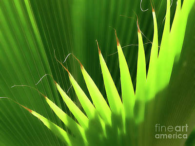 Photograph - Stringy Palm by Vicki Hone Smith