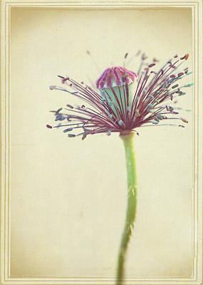Photograph - Strip Tease Poppy by Lisa Knechtel