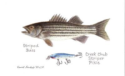 Recently Sold - Animals Drawings - Striped Bass and Striper Pikie Lure by Daniel Lindvig
