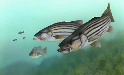Fish Underwater Drawing - Striped Bass by Mountain Dreams