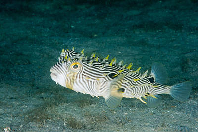 Puffer Fish Photograph - Striped Burrfish by Andrew J. Martinez