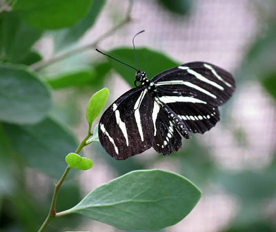 Photograph - Striped Butterfly by Laurel Powell