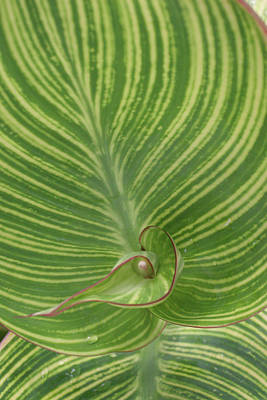 Striped Canna Leaf Abstract Art Print by Anna Miller