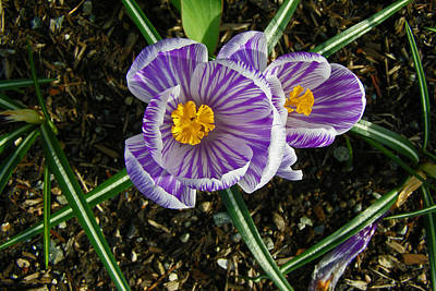 Photograph - Striped Crocus by Tikvah's Hope