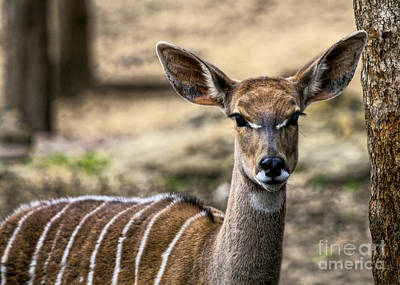 Photograph - Striped Deer by D Wallace