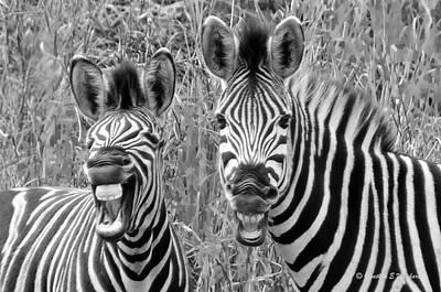 Striped Donkeys Zebra Chapman's Race Art Print by Jonathan Whichard