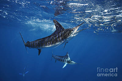 Striped Marlin Feeding On Baitball Of Sardines Art Print