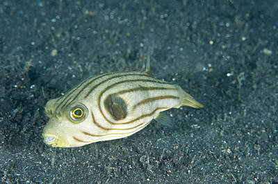 Puffer Fish Photograph - Striped Puffer, Indonesia by Andrew J. Martinez