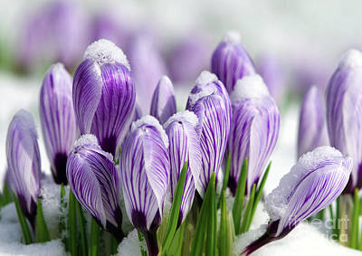 Spring Bulbs Photograph - Striped Purple Crocuses In The Snow by Sharon Talson