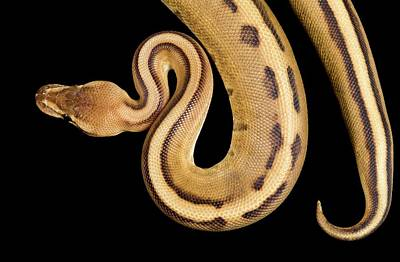 Burmese Python Wall Art - Photograph - Striped Royal Python by Pascal Goetgheluck/science Photo Library