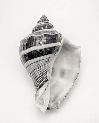 White House Photograph - Striped Sea Shell by Lucid Mood