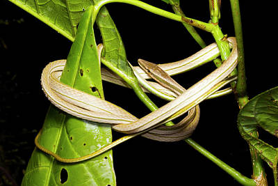 Neotropical Photograph - Striped Sharpnose Snake by Dr Morley Read