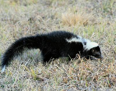 Photograph - Striped Skunk by Ira Runyan