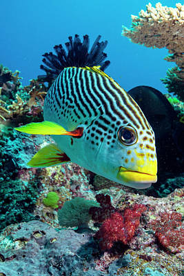 Anthozoa Photograph - Striped Sweetlips On A Reef by Louise Murray