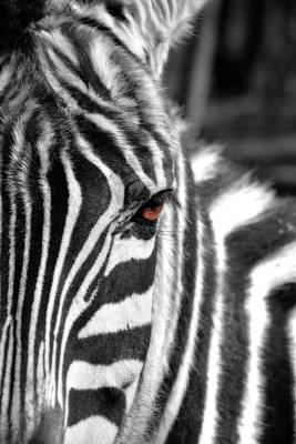 Photograph - Striped To The Soul by Emily Stauring