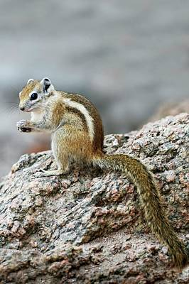 Squirrel Photograph - Striped Tree Squirrel Feeding by Tony Camacho