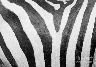 Zebra Photograph - Stripes 2 by Rachel Munoz Striggow