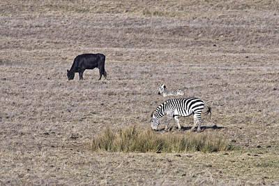 Zebra Photograph - Stripes And Solids by Priya Ghose