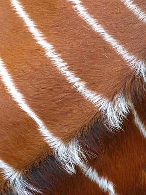 Photograph - Stripes On Hide by Cleaster Cotton