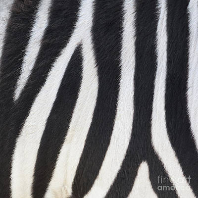 Impressionist Landscapes - Stripes on Zebra by Bryan Mullennix