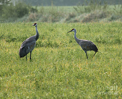 Art Print featuring the photograph Strolling Cranes by Debbie Hart