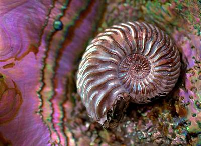 Pyrite Photograph - Structural Colour Ammonite Modern Abalone by Paul D Stewart