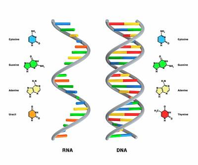 Structure Of Rna And Dna Art Print by Claus Lunau