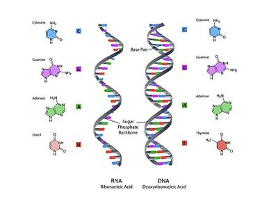 Digitally Generated Image Photograph - Structure Of Rna And Dna by Gunilla Elam