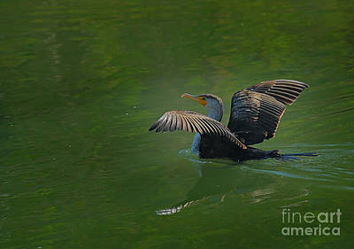 Photograph - Strutting Cormorant by David Cutts
