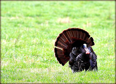 Photograph - Strutting His Stuff by Susie Weaver