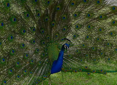 Photograph - Strutting Peacock by Denise Mazzocco