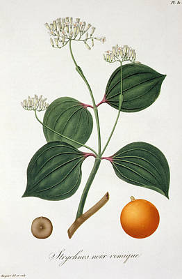 Strychnos Nux Vomica From 'phytographie Medicale' By Joseph Roques  Art Print by L F J Hoquart