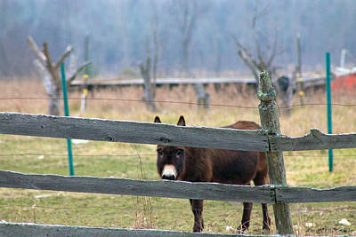 Photograph - Stubborn As A Mule by Rhonda Humphreys
