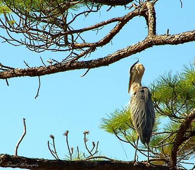 Blue Herron Photograph - Stubborn Bird by Debra Forand