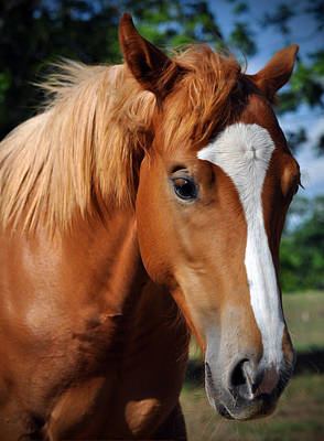 Stud Horse  Art Print