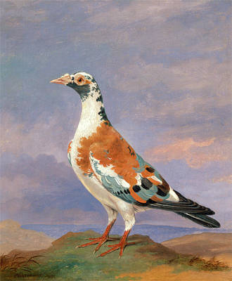 Carrier Painting - Studies Of Carrier Pigeon Carrier Pigeons Carrier Pigeons by Litz Collection