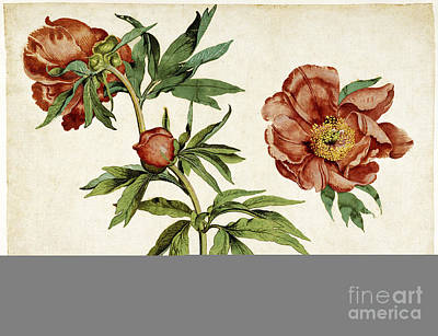 Botanic Illustration Photograph - Studies Of Peonies, 1472 by Getty Research Institute