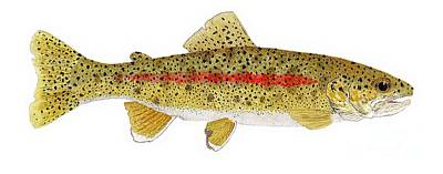 Study Of A Columbia River Erdband Trout Art Print