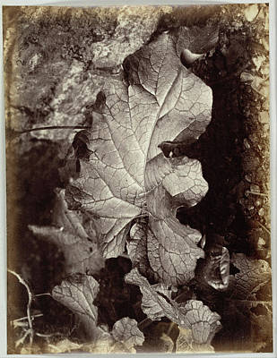 Burrowing Drawing - Study Of A Leaf, Robert Burrows by Artokoloro