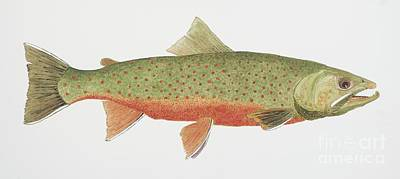 Trout Painting - Study Of A Male Dolly Varden Char by Thom Glace