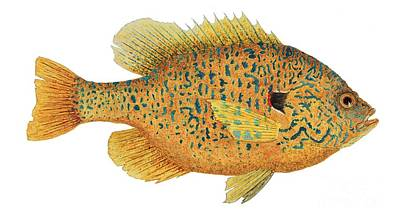 Painting - Study Of A Male Pumpkinseed Sunfish In Spawning Brilliance by Thom Glace