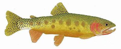 Study Of A Rio Grande Cutthroat Trout Art Print by Thom Glace