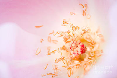 Study Of A Rose One Art Print by Lisa McStamp